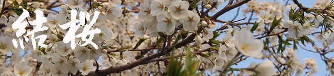 結桜(ゆいざくら)